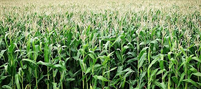 corn-2655525_1920-676x301