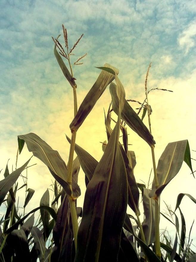 corn-457058_1920-676x901
