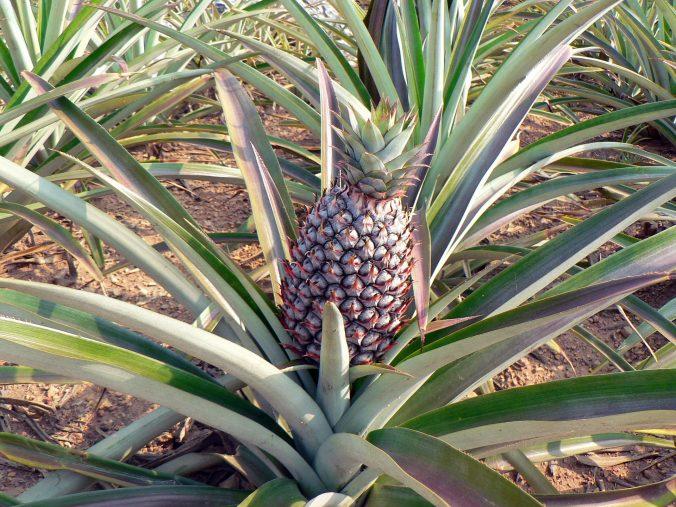 pineapple-1976528_1920-676x507