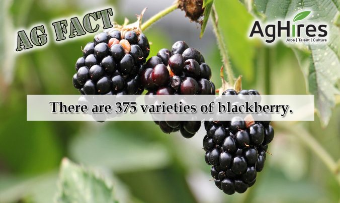 Blackberry Ag Facts
