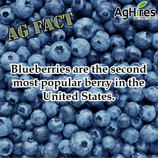 Blueberries are Second Most Popular Berry