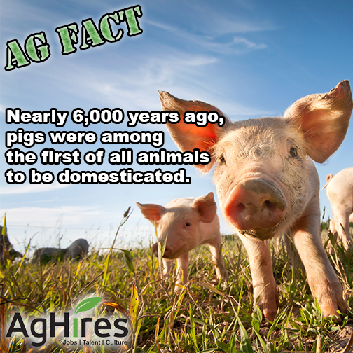 Pigs Among First Domesticated